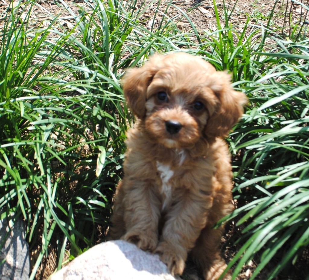 Cavapoo & Cavoodle Puppies for Sale in IL | DreamCatcher