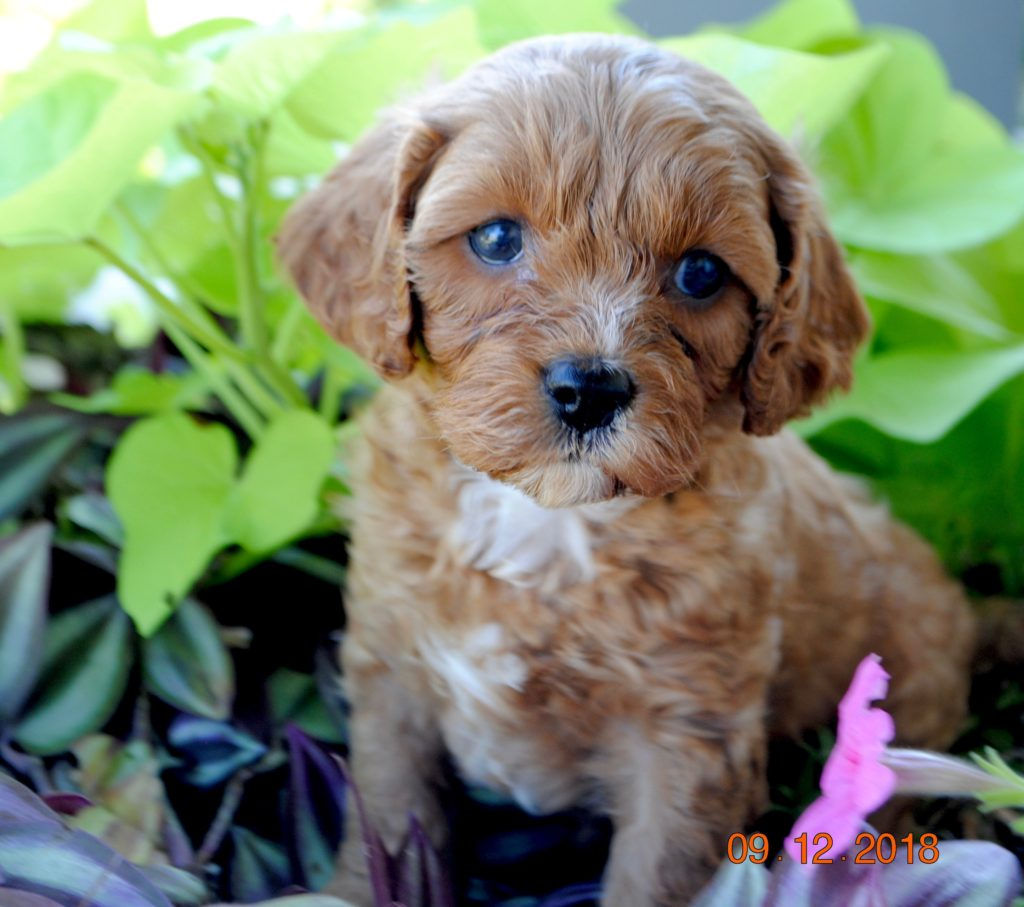 Cavapoo Cavoodle Puppies For Sale In Il Dreamcatcher Hill