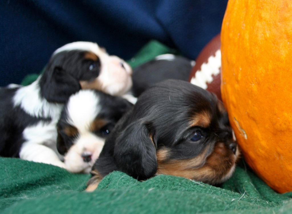 AKC King Cavalier Puppies for Sale in Illinois