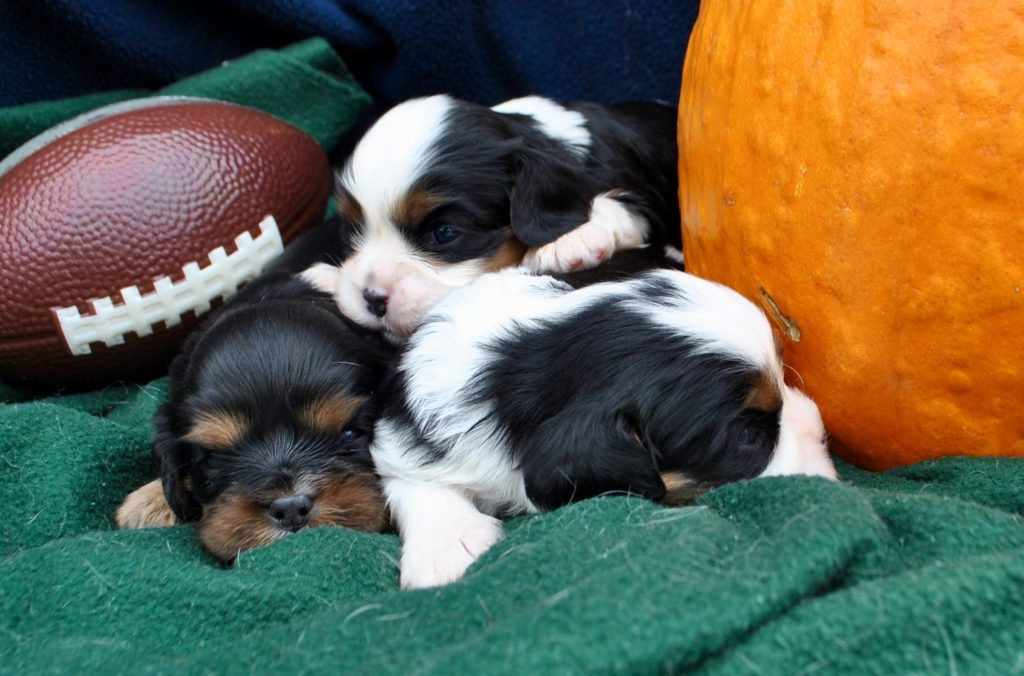 AKC Cavalier King Charles Puppies for Sale in Illinois