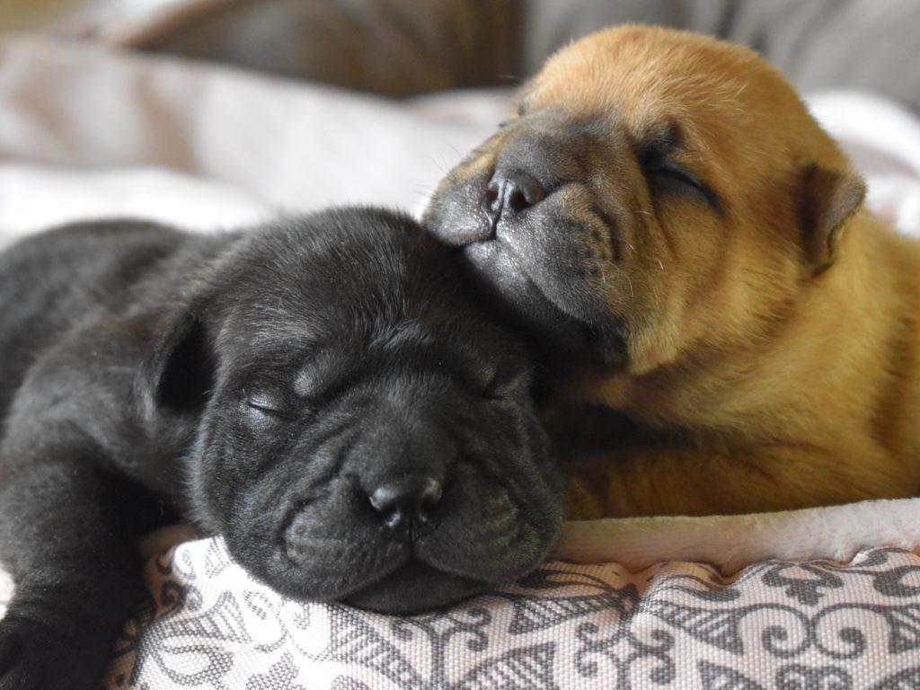 Sky-Whitey puppies, 12 days old.