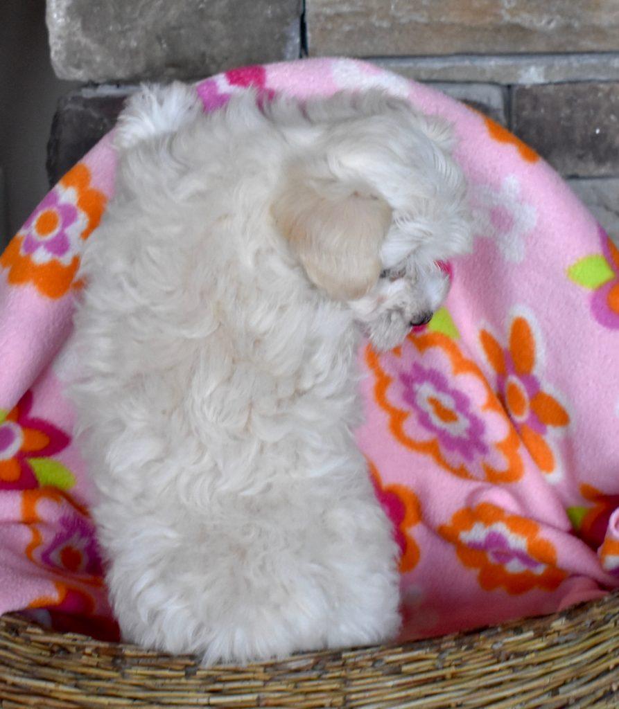 Cream girl, 7.5 weeks old.