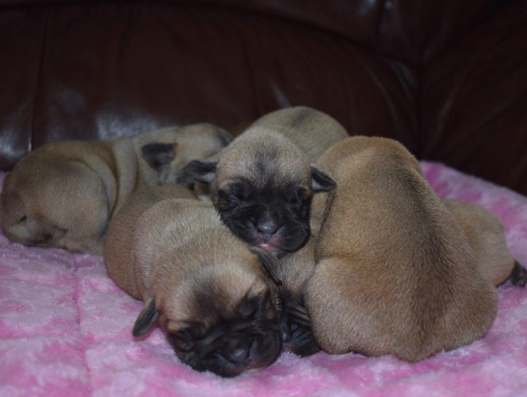 Mini bulldog girls, 6 days old.