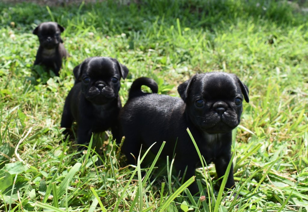AKC-Registered Pug Puppies for Sale in IL   DreamCatcher Hill