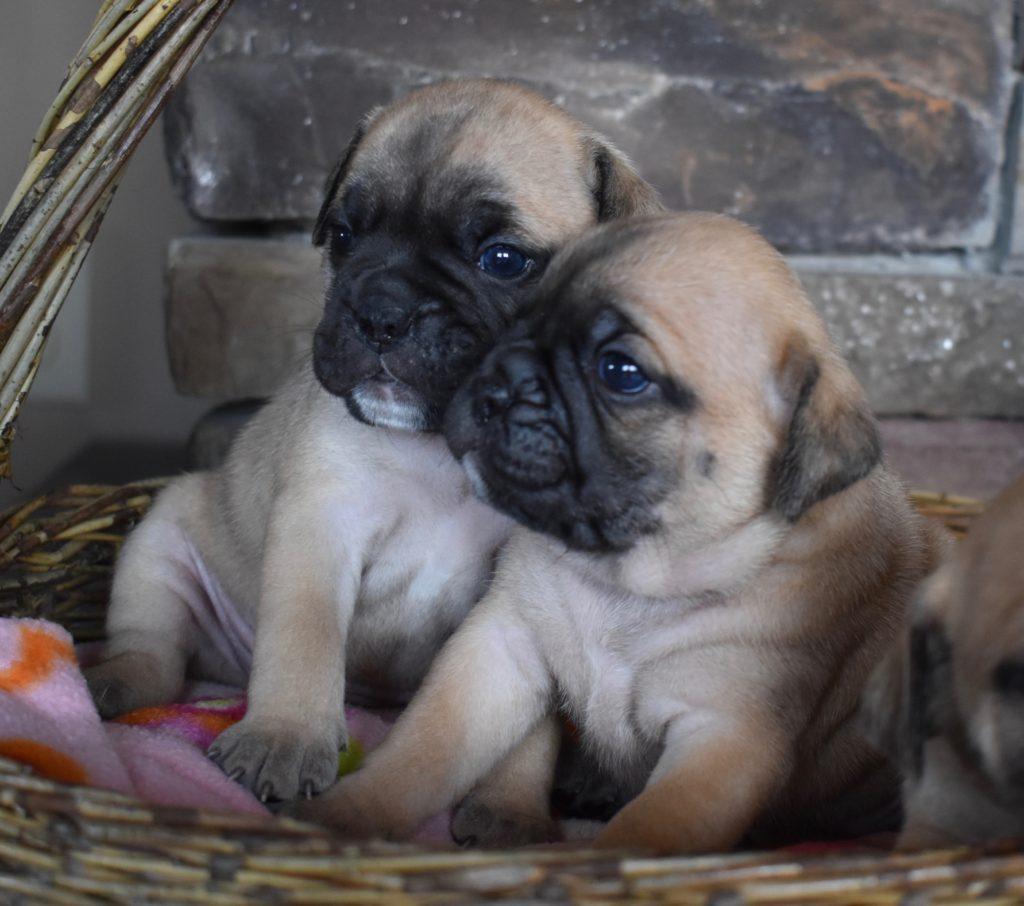 Mini bulldog girls, 3.5 weeks old.