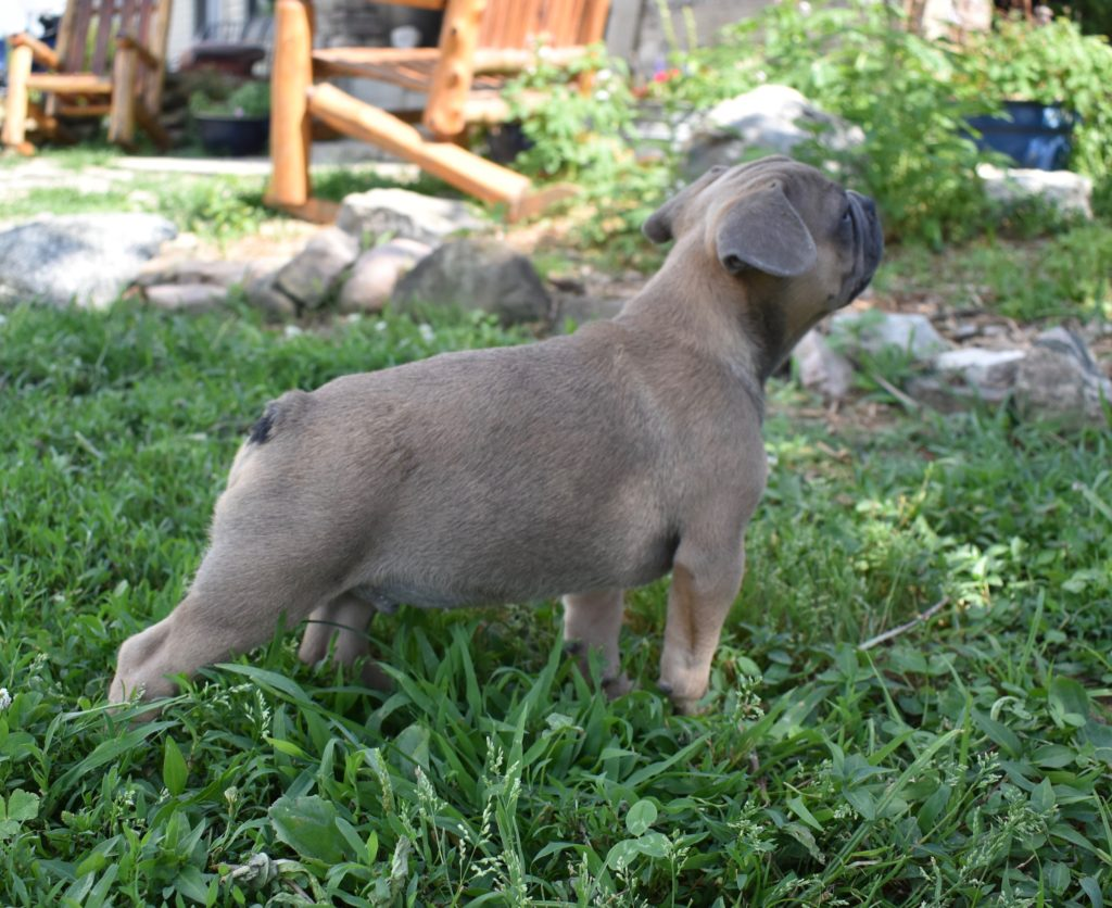 Blue Fawn boy, almost 11 weeks old