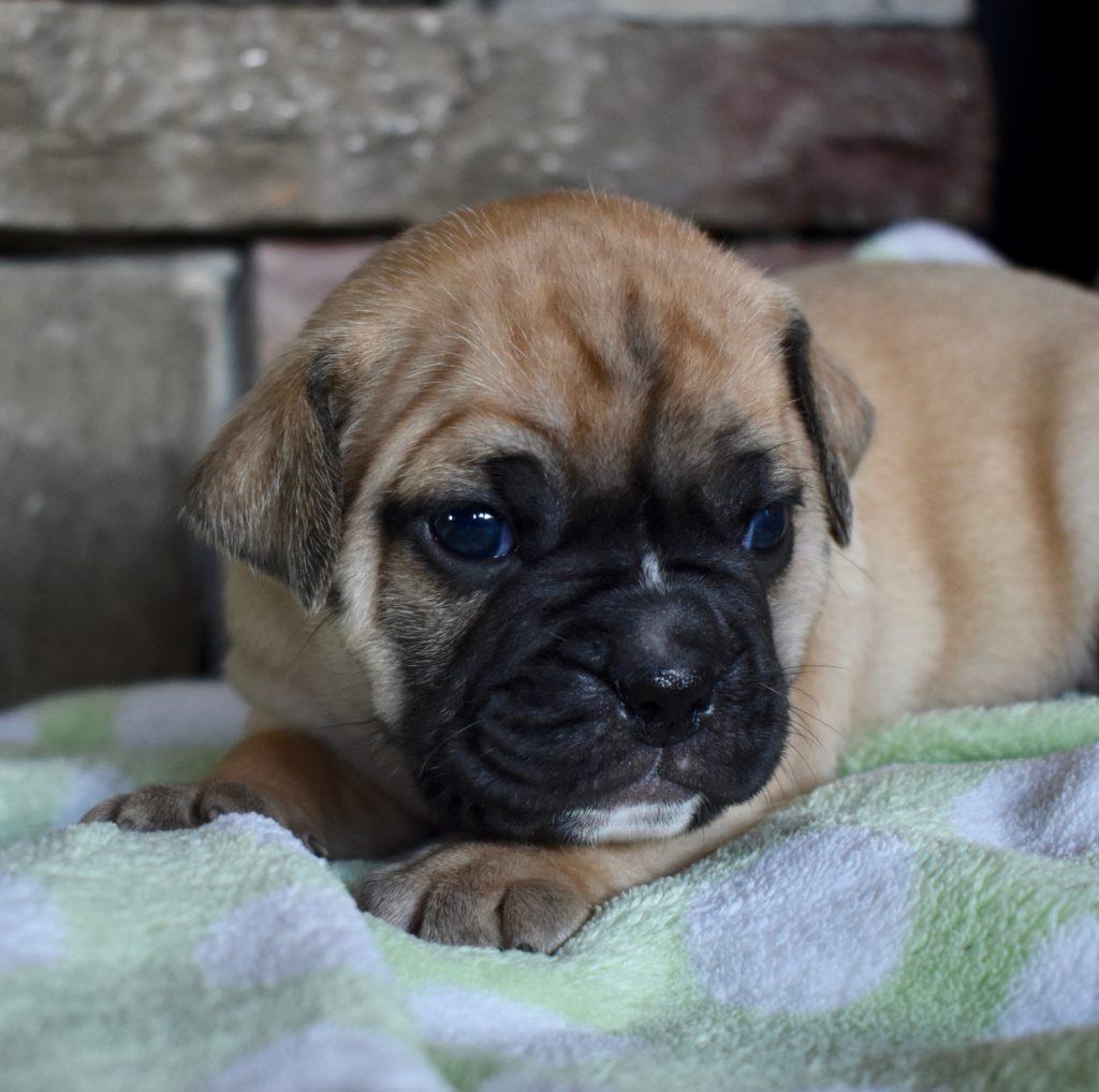Mini bulldog boy, 3.5 weeks old.