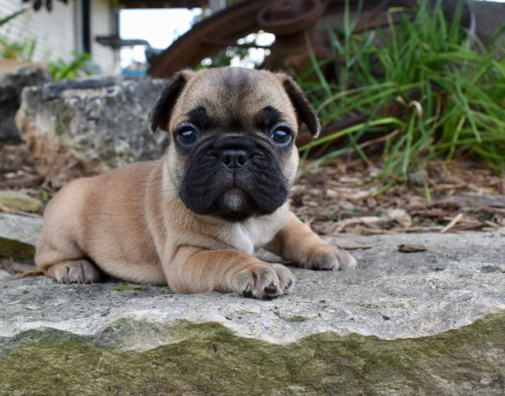 French Bulldog - Frenchie Puppies for Sale in IL | DreamCatcher Hill