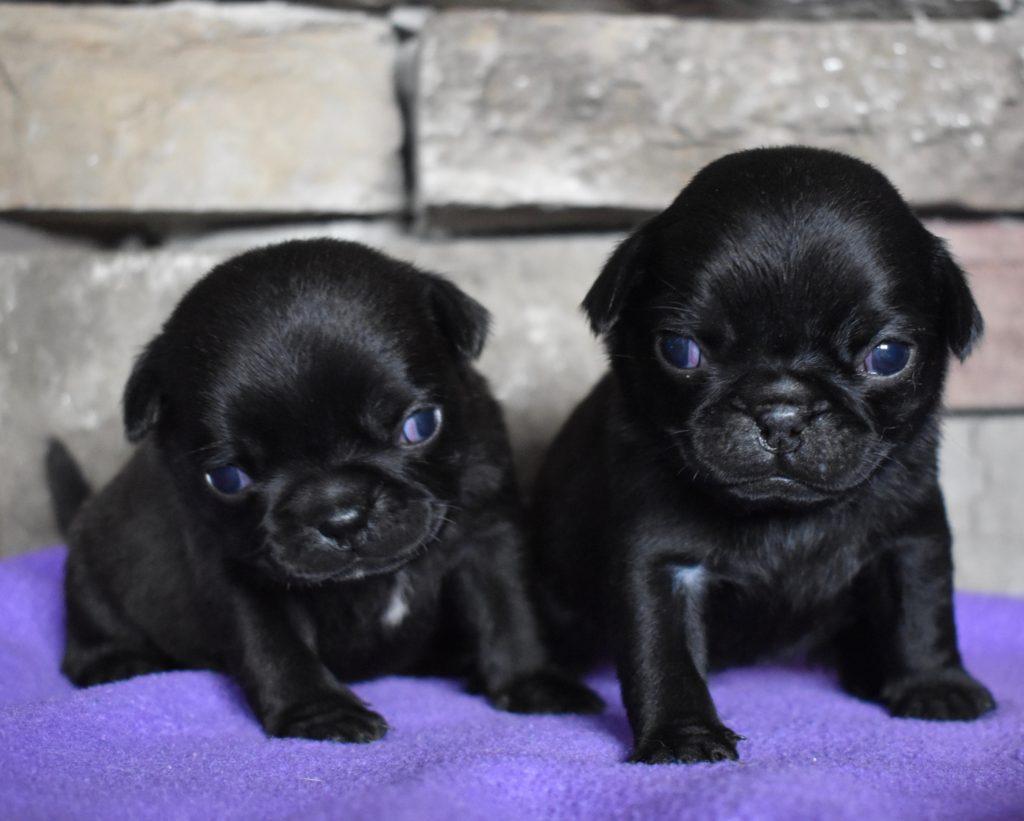 Black, Females, 2.5 weeks old