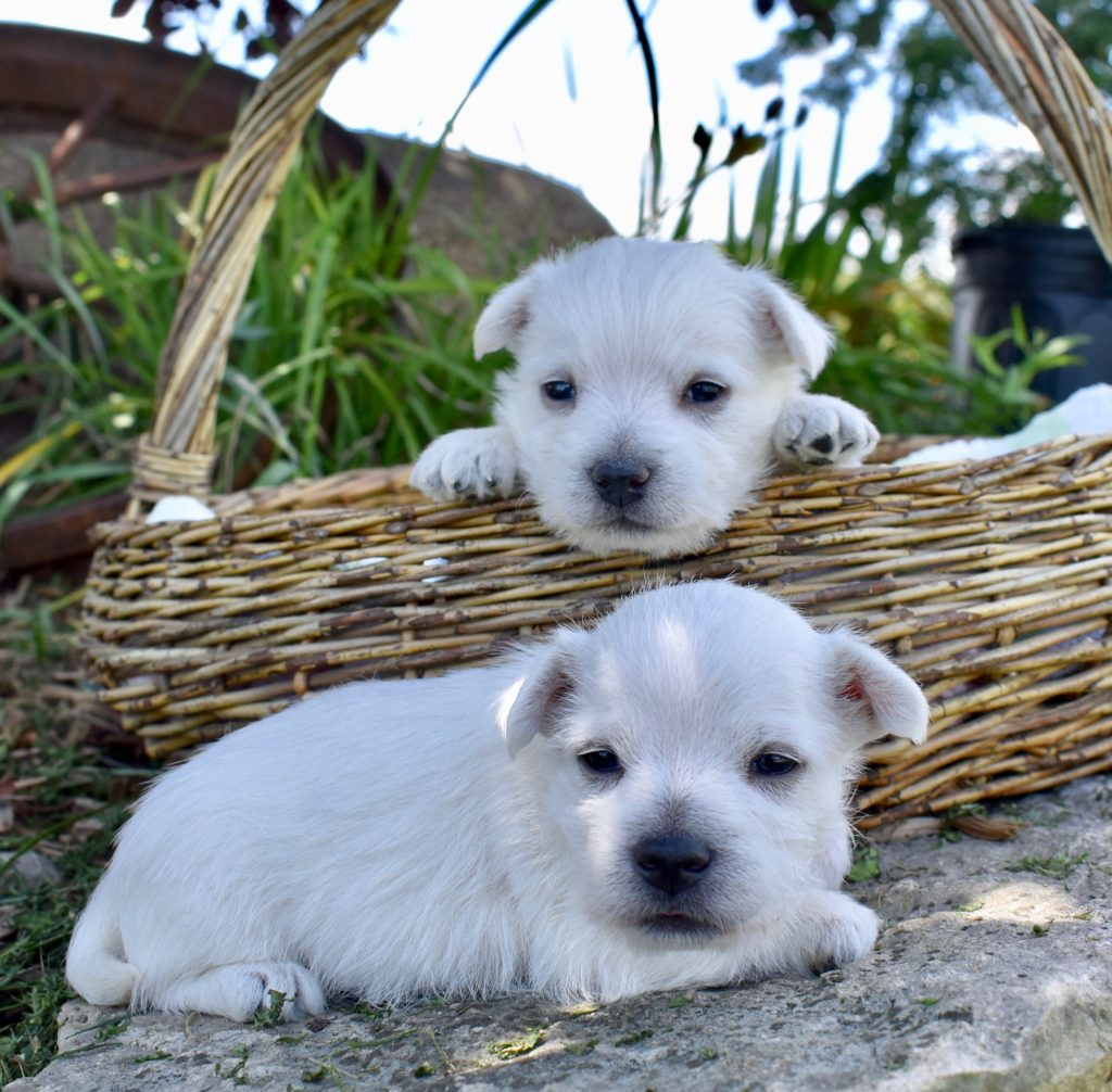 AKC Certified West Highland White Terrier Puppies in IL