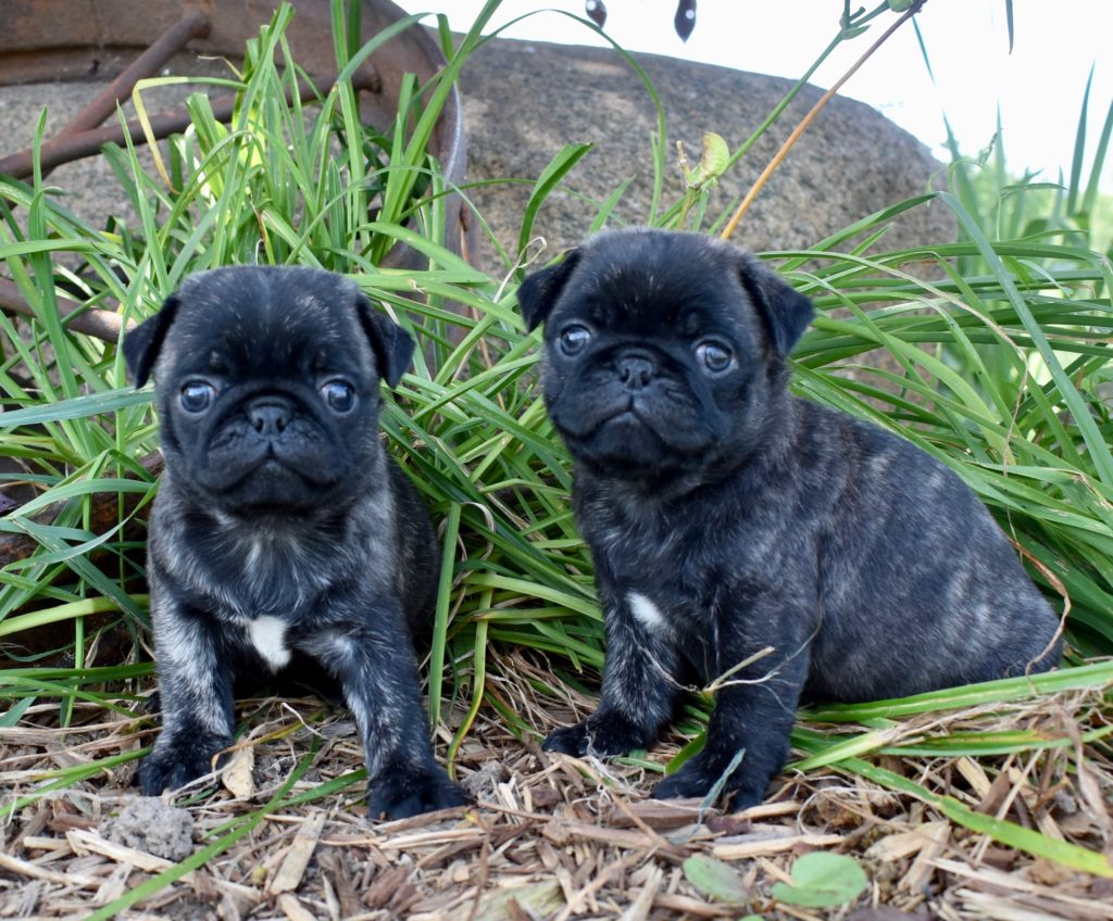 Sally and Tugs, brindle boys, 5.5 weeks old, 1 is available!