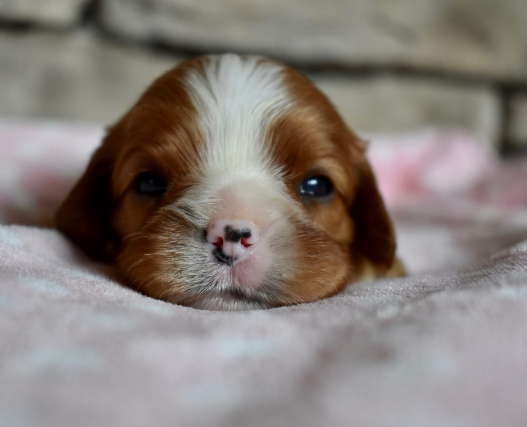 Cavalier King Charles female puppy