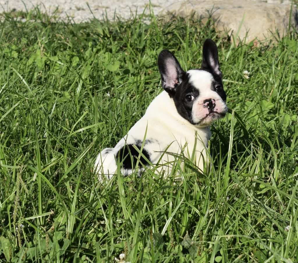 French Bulldog - Frenchie Puppies for Sale in IL