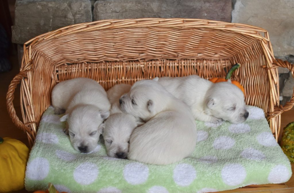 2 week old white terrier puppies