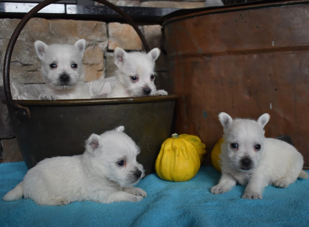 4 week old white terrier puppies