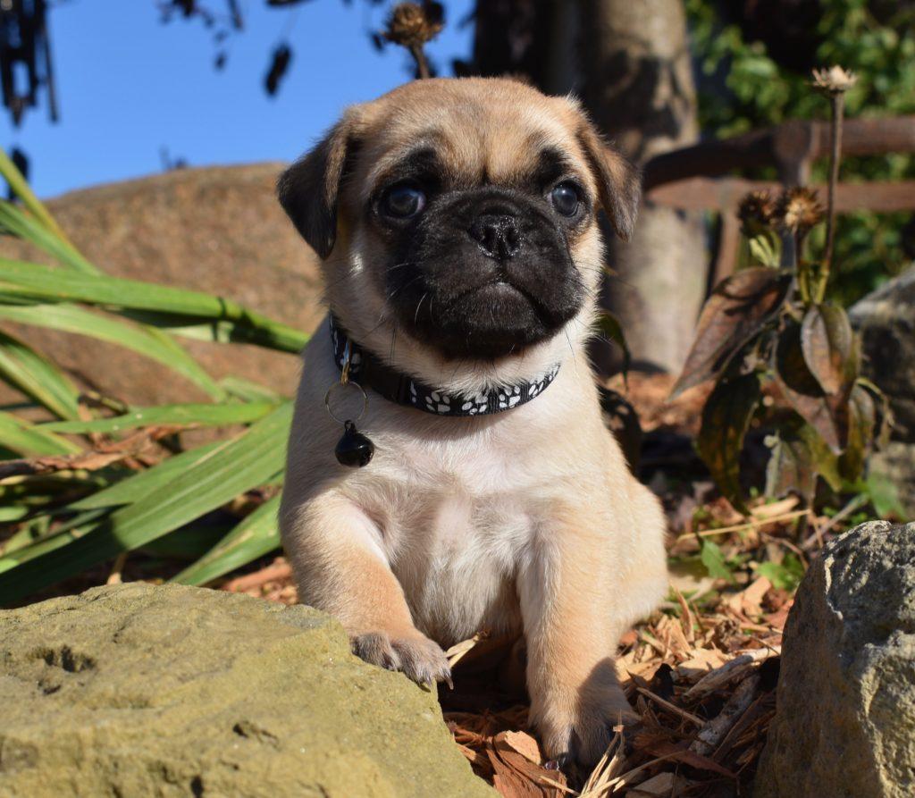 fawn male pug puppy