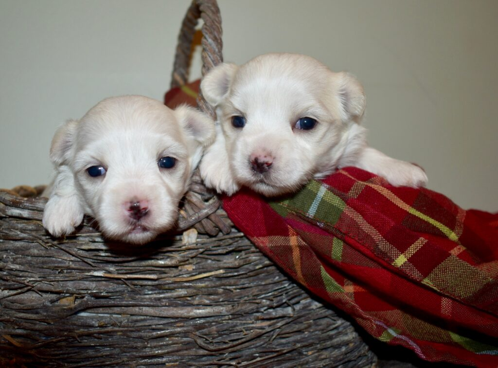 Angel and Moses maltese girls 2 weeks old.