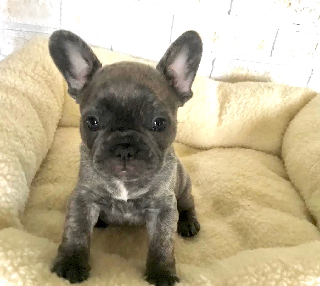 Available blue brindle girl.