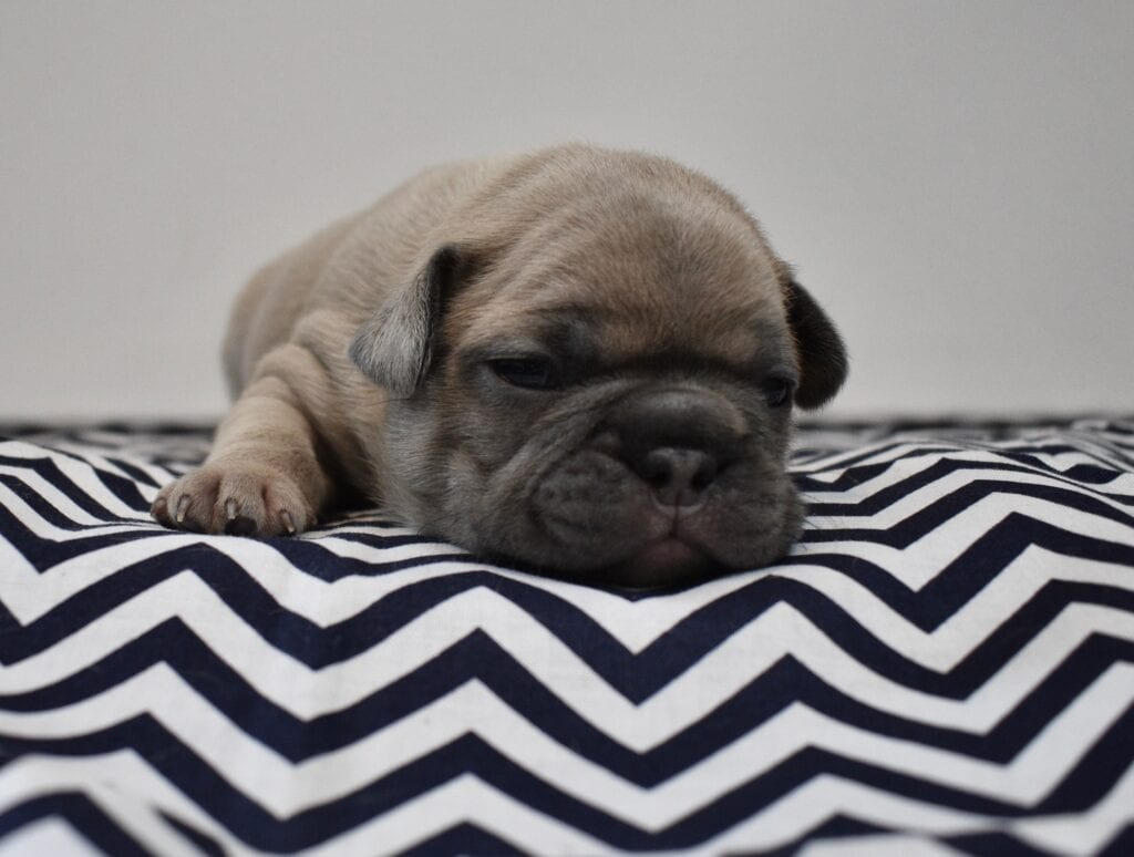 Blue cream boy, Reserved, pending pick-up