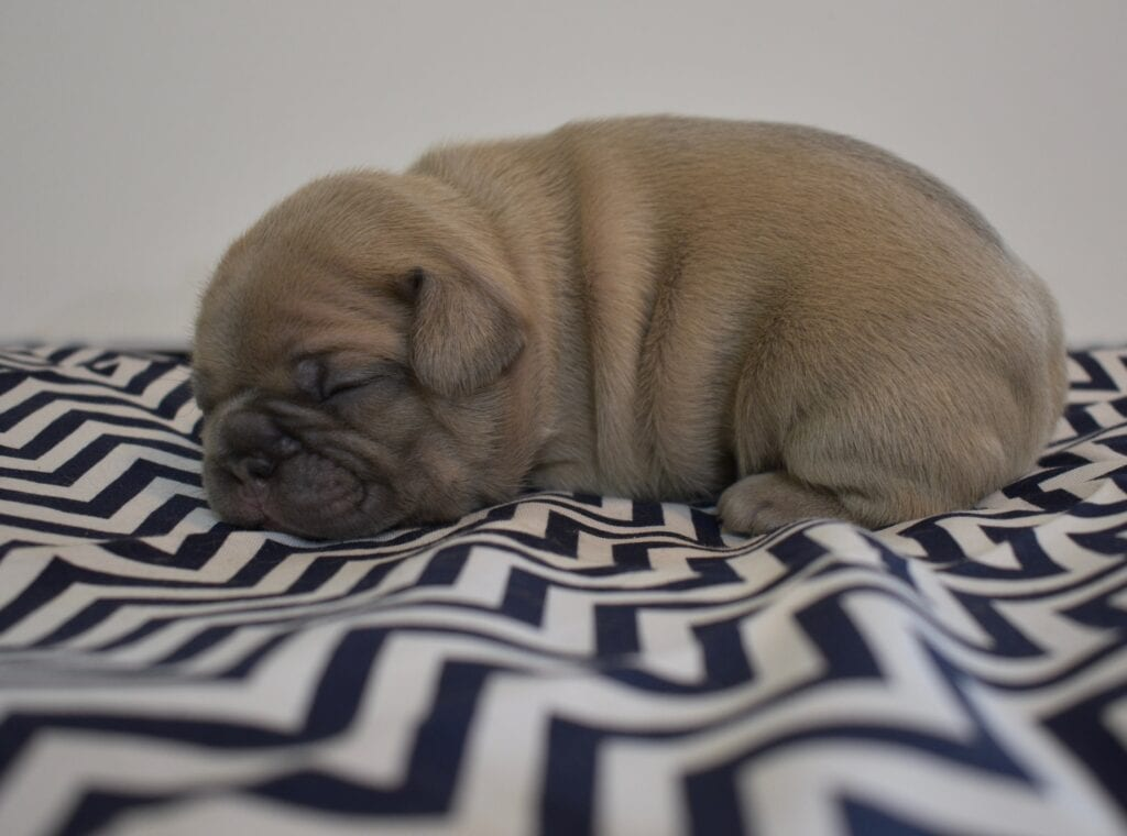 Blue cream boy, Reserved, pending pick-up.