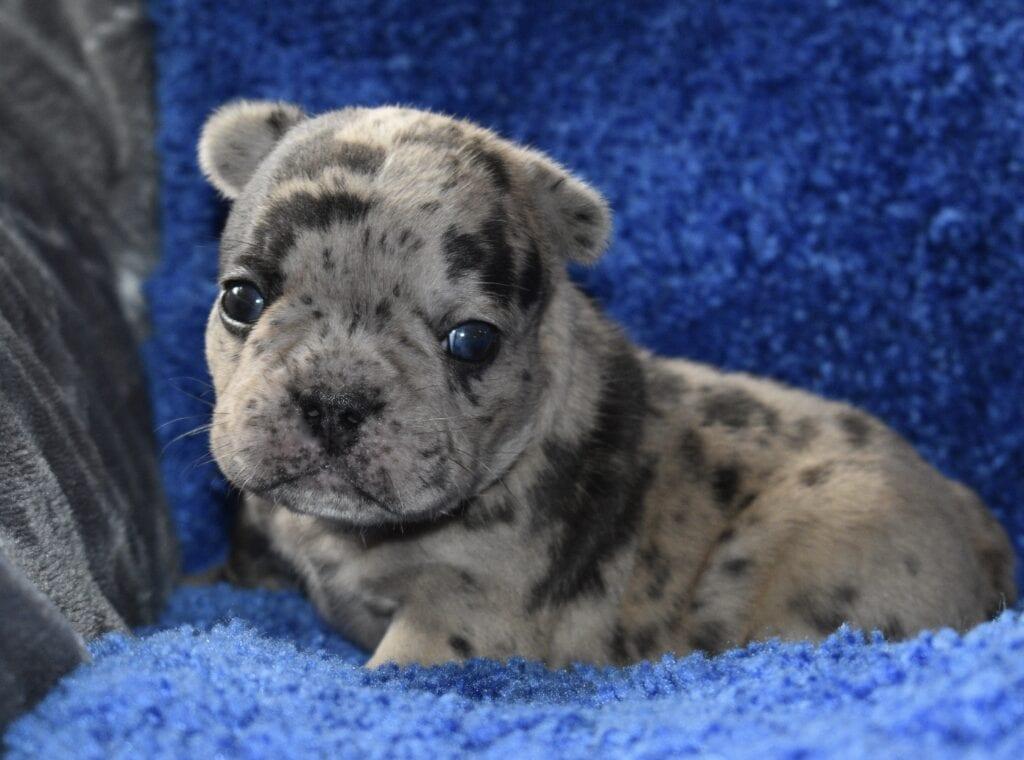 Meati-Gandolf boy, 3 weeks old