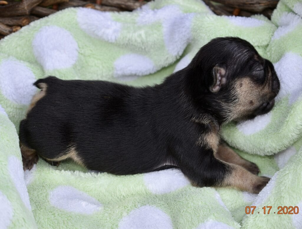 LG/DS black and tan male