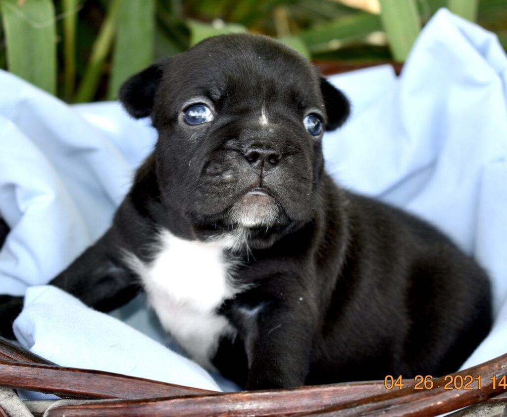 Jennifer's Black Brindle boy, 3 weeks