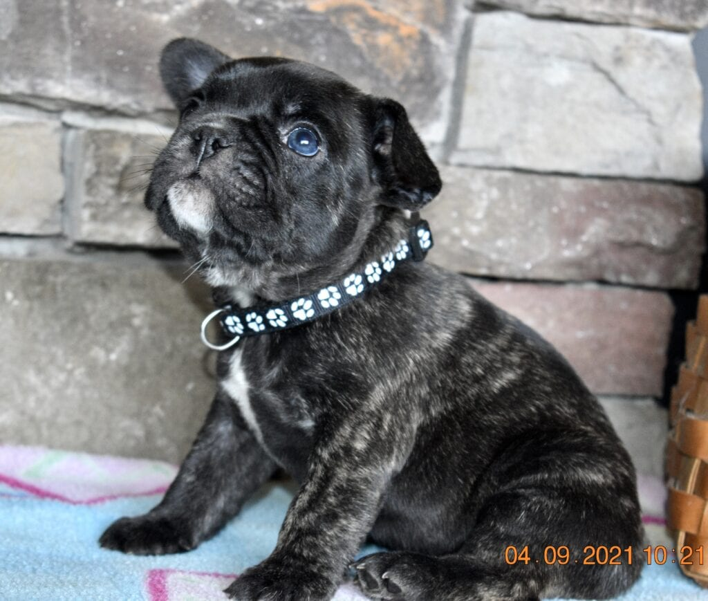 Brindle boy, black collar